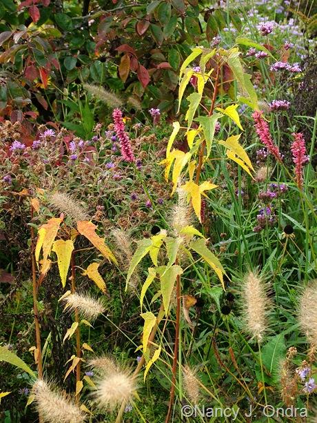 Hibiscus coccineus fall color Oct 2011