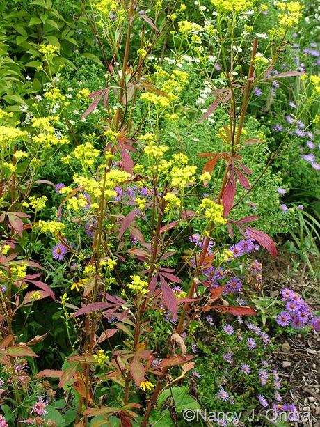Patrinia scabiosifolia fall color Oct 2011