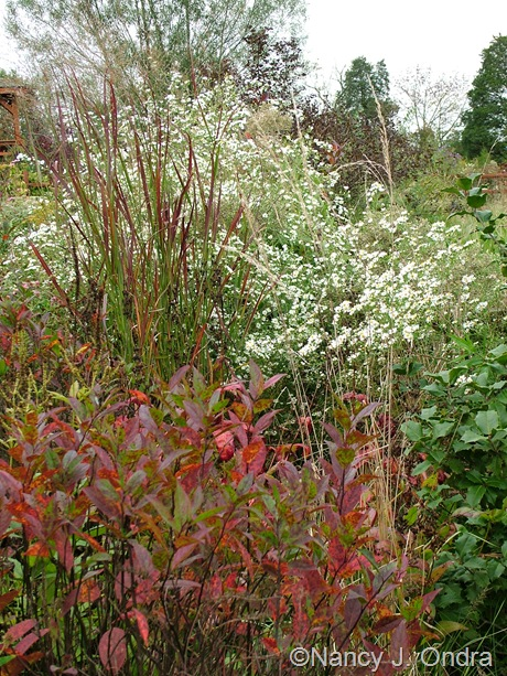 Itea virginica 'Henry's Garnet' in fall color with Panicum virgatum 'Huron Solstice' and Symphyotrichum pilosum Oct 2011