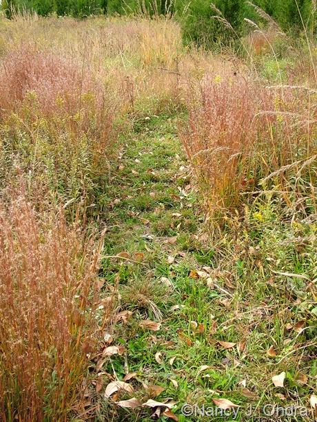 Schizachyrium scoparium fall color Oct 2011