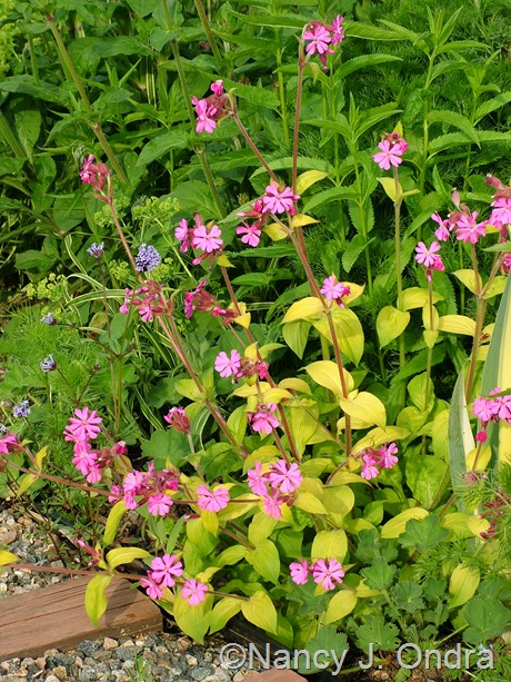 Silene 'Ray's Golden Campion' May 2011