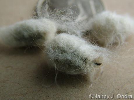 Gossypium herbaceum 'Nigrum' (cotton) seeds