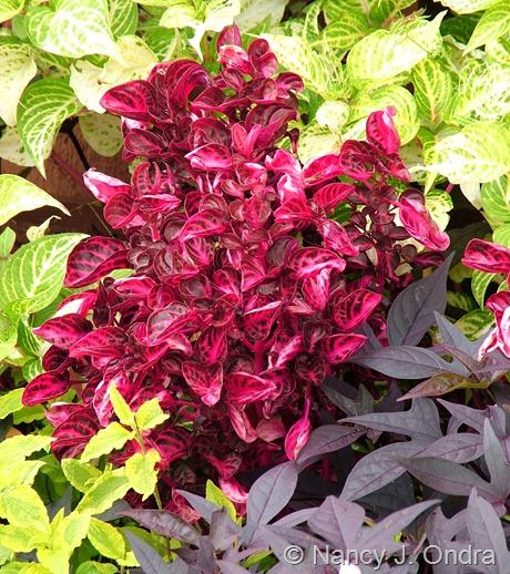 Iresine herbstii with Iresine lindenii 'Formosa', Cistus 'Mickie', and Ipomoea batatas (purple seedling)