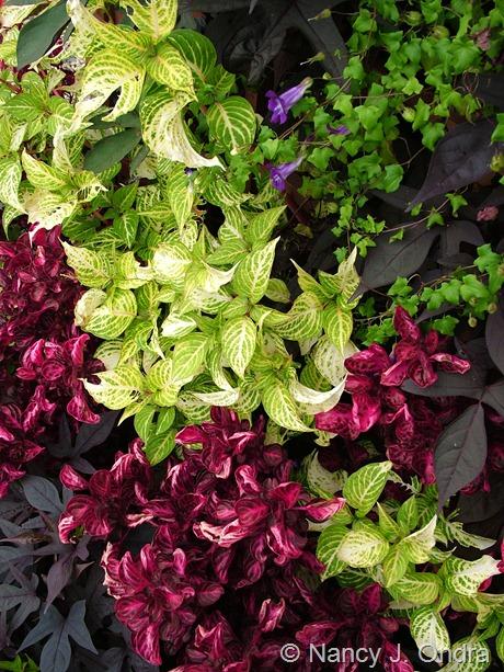 Iresine lindenii 'Formosa' with Iresine herbstii, Ipomoea batatas (purple seedling), and Asarina scandens 'Joan Lorraine'