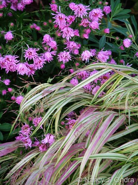 Hakonechloa macra 'Aureola' with Symphyotrichum novae-angliae 'Harrington's Pink'