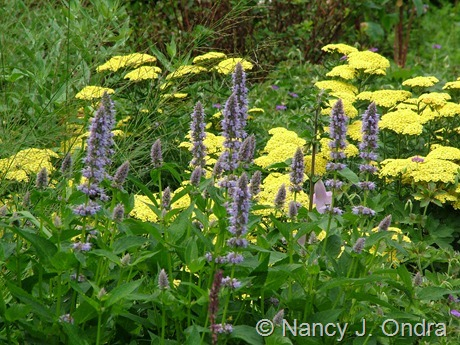 Agastache 'Blue Fortune' with Achillea 'Anblo' (Anthea) July 16 2009