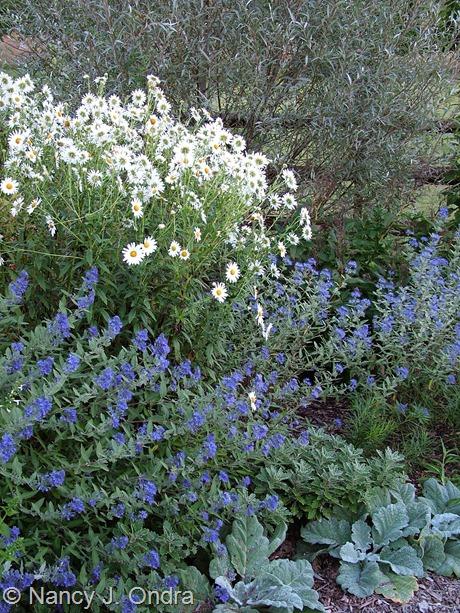 Caryopteris x clandonensis with Salvia argentea, Leucanthemella serotina, and Salix alba var. sericea September 17 2007