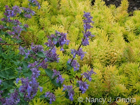 Nepeta 'Walker's Low' with Sedum rupestre 'Angelina' May 19 2006