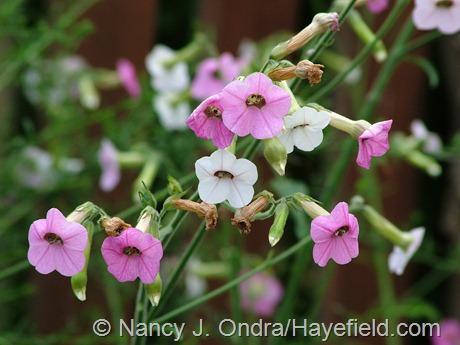 Nicotiana mutabilis at Hayefield