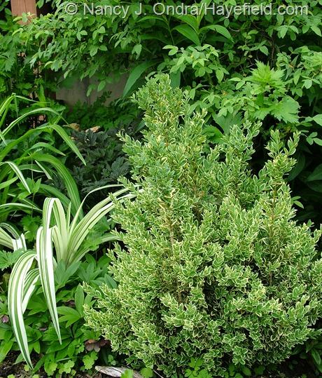 Buxus sempervirens 'Elegantissima' at Hayefield