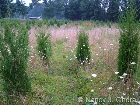 Juniperus virginiana and Schizachyrium scoparium in meadow at Hayefield Aug 16 07