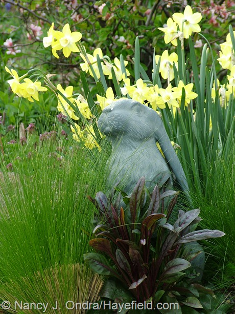Penstemon 'Dark Towers' seedling with Stipa tenuissima and Narcissus 'Pipit' at Hayefield
