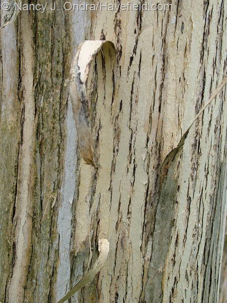 Heptacodium miconioides bark