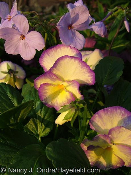 Viola 'Etain' with Phlox stolonifera 'Blue Ridge' at Hayefield