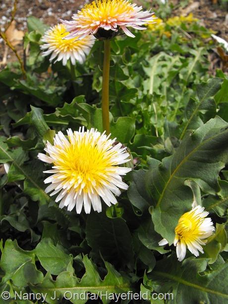 Taraxacum pseudoroseum at Hayefield