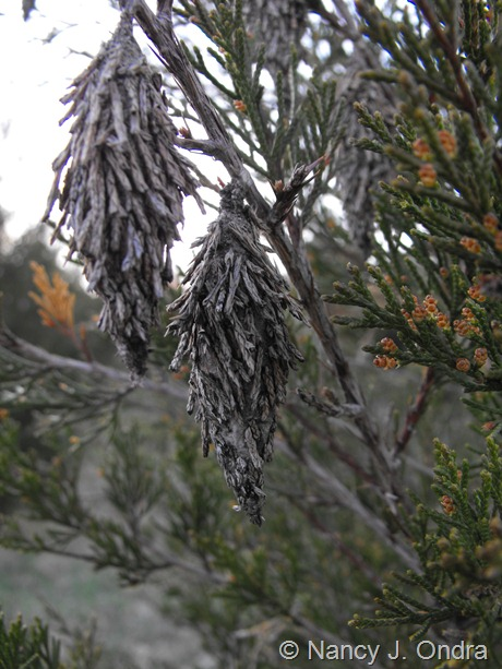 Bagworm bags on Juniperus virginiana at Hayefield April 2012