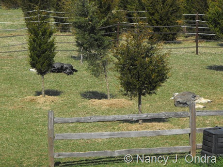 Sunbathing alpacas at Hayefield March 2012