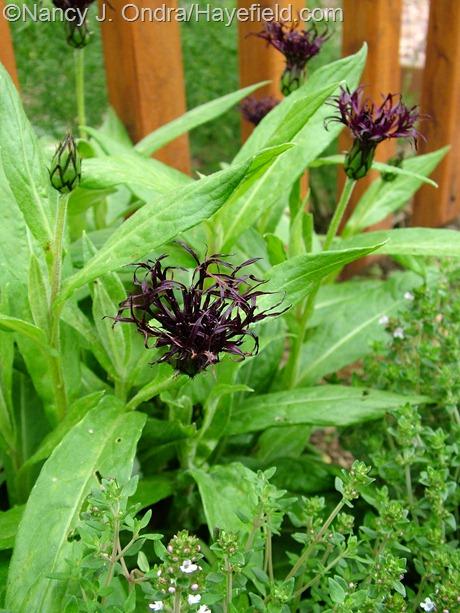 Centaurea montana 'Black Sprite' at Hayefield