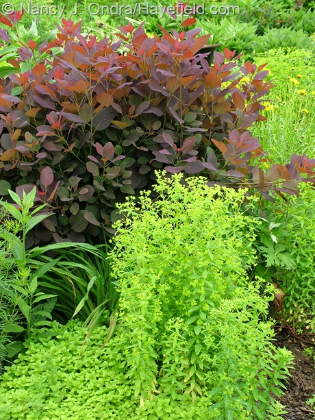Euphorbia 'Golden Foam' with Cotinus 'Grace' at Hayefield