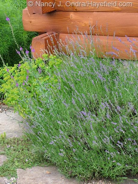 Lavandula angustifolia at Hayefield