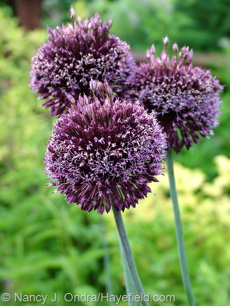 Allium 'Forelock' at Hayefield