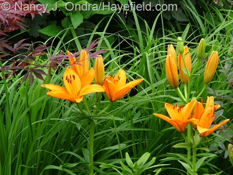 Lilium 'Orange County' at Hayefield