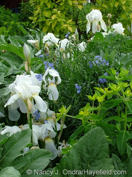 025_torris root (Iris 'Florentina') with perennial flax (Linum perenne) and Euphorbia palustris 'Zauberflote' at Hayefield
