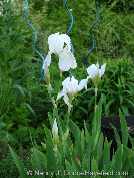 Iris 'Florentina' at Hayefield