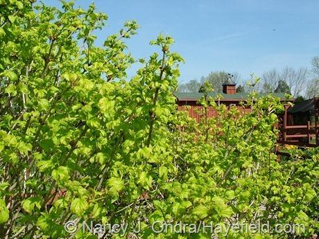Viburnum opulus 'Aureum' at Hayefield
