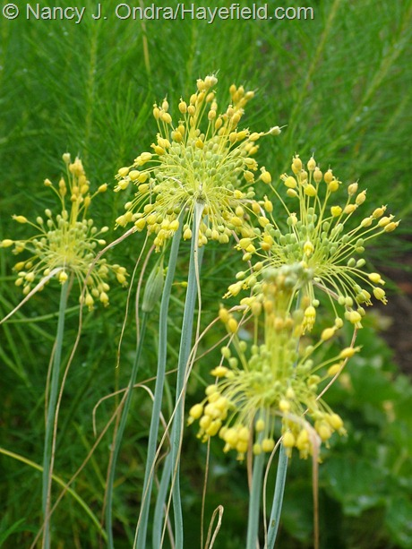 Allium flavum at Hayefield
