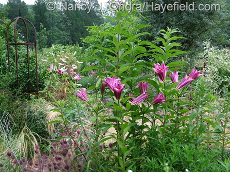 Lilium 'Purple Prince' at Hayefield