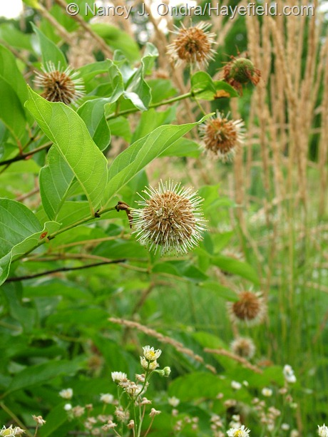 Cephalanthus occidentalis at Hayefield