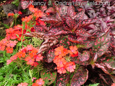 Verbena 'Oxena' (Babylon Red) with Hypoestes phyllostachya 'Red Splash Select' at Hayefield