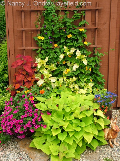 Ipomoea batatas 'Sweet Georgia Heart Light Green', Calibrachoa 'Aloha Neon 2011' and 'Noa Tangerine', Anagallis monelli 'Angie Blue', Lantana camara 'Samantha', Zinnia 'Profusion Orange', Solenostemon 'Sedona', Iresine lindenii 'Formosa', Thunbergia alata 'Susie Orange Clear', and Asarina scandens 'Joan Lorraine'