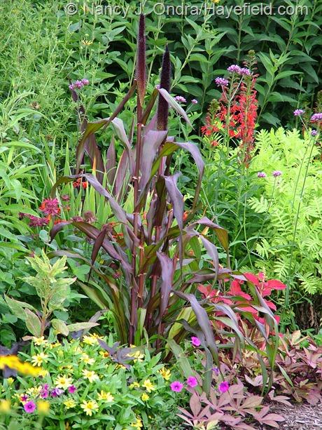 'Jester' purple millet (Pennisetum glaucum) with cardinal flower (Lobelia cardinalis), Brazilian vervain (Verbena bonariensis), 'Sedona' coleus, Pentunia integrifolia, and 'Profusion Yellow' zinnia at Hayefield