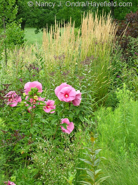 'Plum Crazy' rose mallow (Hibiscus) with 'Karl Foerster' feather reed grass (Calamagrostis x acutiflora) and ironweed (Vernonia noveboracensis) at Hayefield