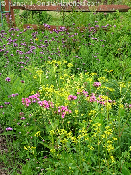 'Ping Pong' phlox (Phlox x arendsii) and golden lace (Patrinia scabiosifolia) with Brazilian vervian (Verbena bonariensis) at Hayefield
