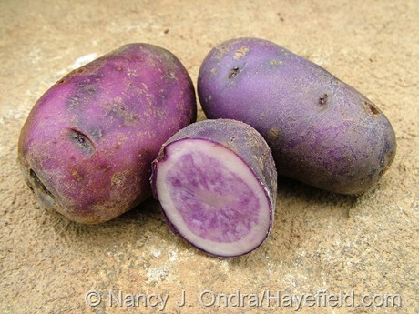 Potato 'All Blue' at Hayefield