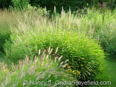 Spodiopogon sibiricus and Pennisetum alopecuroides 'Cassian' at Hayefield