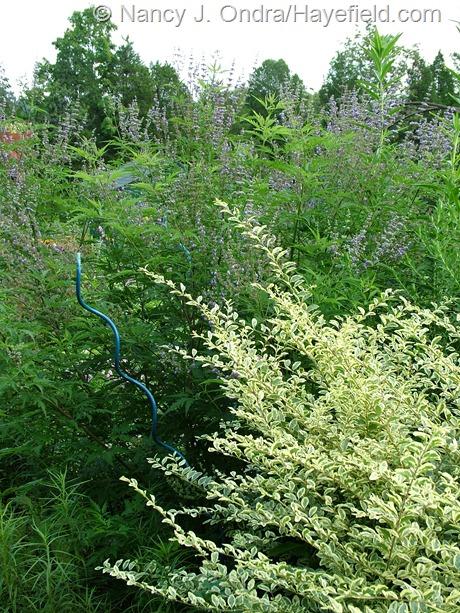 Vitex negundo var. heterophylla) behind 'Swift Creek' privet (Ligustrum chinense) at Hayefield