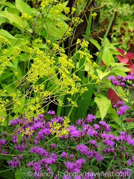 Golden lace (Patrinia scabiosifolia) with narrow-leaved ironweed (Vernonia lettermannii) at Hayefield