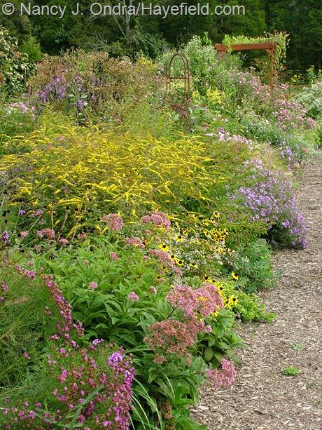 Solidago rugosa 'Fireworks', Rudbeckia fulgida, Eutrochium maculatum, and Vernonia lettermannii at Hayefield