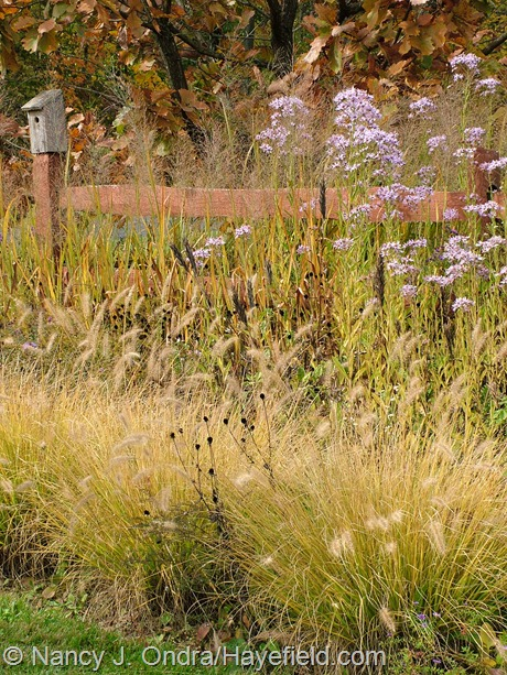 'Cassian' fountain grass (Pennisetum alopecuroides) with Tatarian aster (Aster tataricus) at Hayefield