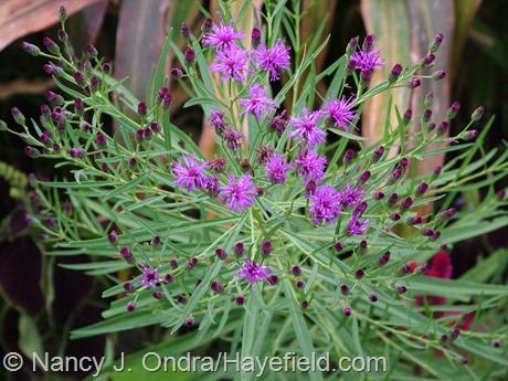 Vernonia lettermannii at Hayefield