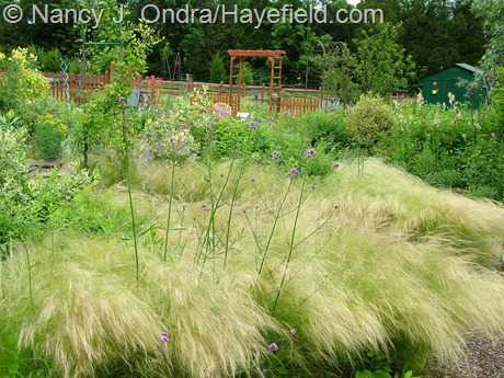 Stipa tenuissima at Hayefield