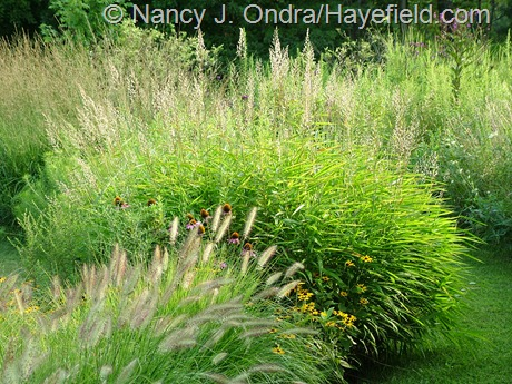 Spodiopogon sibiricus with Pennisetum alopecuroides 'Cassian' at Hayefield