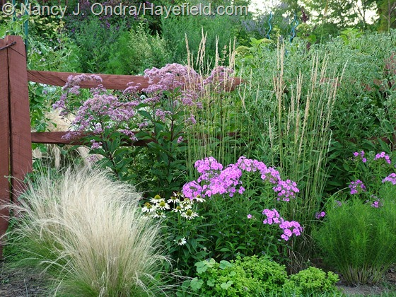 Stipa tenuissima with Echinacea Harvest Moon, Phlox paniculata, Eutrochium maculatum, and Calamagrostis x acutiflora 'Karl Foerster' in early August at Hayefield