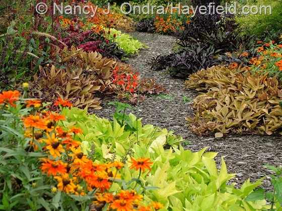 'Profusion Orange' zinnias and several selections of sweet potato vine (Ipomoea batatas): 'Sweet Caroline Light Green', 'Sweet Caroline Bronze', and 'Sweet Caroline Purple' at Hayefield.com