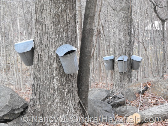 Maple sap buckets; Milford Township, PA