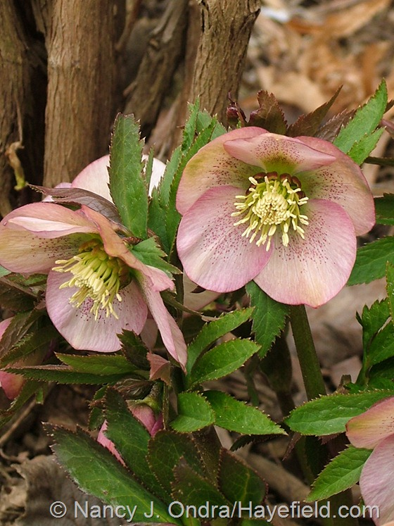 Helleborus x hybridus (single pink, bronze nectaries) at Hayefield.com